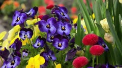 Horned pansy (Viola cornuta) and daisy (Bellis perennis) Stock Footage