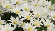 Windflower (Anemone blanda) Stock Footage
