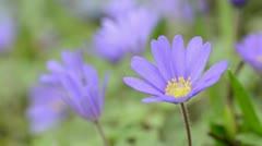 Windflower (Anemone blanda 'Blue Shades') Stock Footage