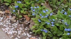 Blue eyed Mary (Omphalodes verna) Stock Footage