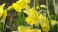 Stock Video Footage of Daffodils (Narcissus)