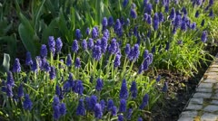 Armenian grape hyacinth (Muscari armeniacum) Stock Footage