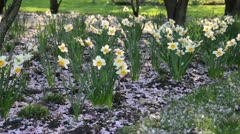 Daffodils (Narcissus) with cherry flowers - stock footage