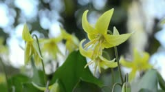 Dog's tooth violet (Erythronium Pagoda) Stock Footage