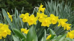 Daffodil (Narcissus Royal Gold) - stock footage