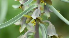 Fritillaria sewerzowii Stock Footage