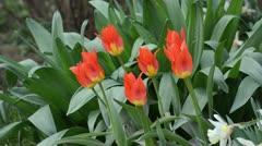 Wild tulip (Tulipa fosteriana 'Juan') Stock Footage
