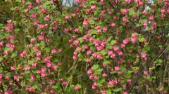 Flowering currant (Ribes sanguineum) Stock Footage