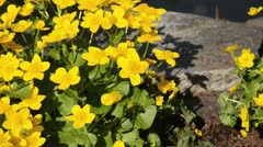 Marsh marigold (Caltha palustris) Stock Footage