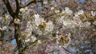Stock Video Footage of Oshima cherry (Prunus speciosa)