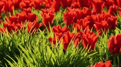 Tulips (Tulipa) Stock Footage