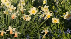 Daffodils (Narcissus) Stock Footage