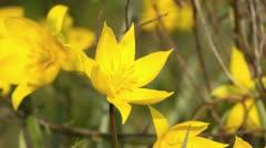 Wild tulip (Tulipa sylvestris) Stock Footage