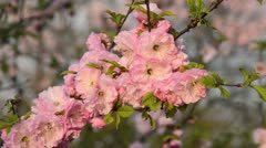 Flowering almond (Prunus triloba 'Multiplex') Stock Footage