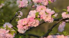 Flowering almond (Prunus triloba 'Multiplex') - stock footage