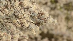 Service berry (Amelanchier arborea) Stock Footage