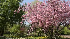 Oriental cherry (Prunus serrulata 'Kanzan') and daffodils (Narcissus) Stock Footage