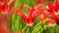 Stock Video Footage of Lily-flowered tulip (Tulipa Aladdin)