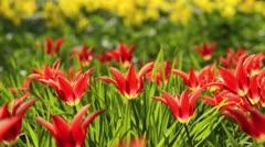Lily-flowered tulip (Tulipa Aladdin) Stock Footage