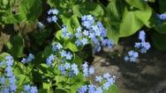 Siberian bugloss (Brunnera macrophylla syn. Myosotis macrophylla) Stock Footage