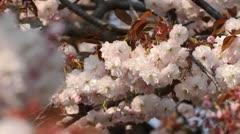 Oriental cherry (Prunus serrulata 'Shirofugen') Stock Footage