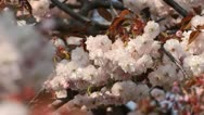 Stock Video Footage of Oriental cherry (Prunus serrulata 'Shirofugen')