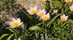 Wild tulip (Tulipa saxatilis 'Lilac Wonder' syn. Tulipa bakeri 'Lilac Wonder') Stock Footage