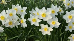Poet's narcissus (Narcissus poeticus 'Actaea') - stock footage