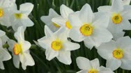 Stock Video Footage of Poet's narcissus (Narcissus poeticus 'Actaea')