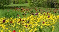 Dandelion (Taraxacum officinale) and tulips (Tulipa) Stock Footage