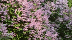Common lilac (Syringa vulgaris) Stock Footage