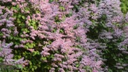 Stock Video Footage of Common lilac (Syringa vulgaris)
