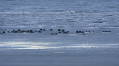 Flotilla of Sea Otters Cavorting Incoming Tide Icy Water Stock Footage