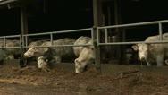 Cows, Pan, Belgium Stock Footage