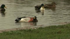 Itchy Duck, Griftpark, Utrecht Stock Footage