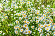 Stock Photo of daisy on a meadow
