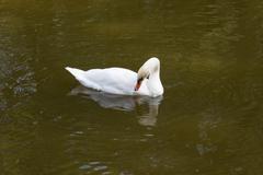 White swan on to the pond Stock Photos