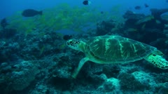 Green turtle reef swim-Apple ProRes 422 (HQ) - stock footage