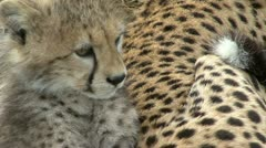 CHEETAH CUB FACE CLOSE Stock Footage