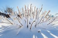 Snow covered bush in front of blue sky, wide angle view Stock Photos