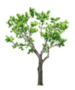 tree on white background - stock photo
