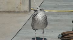 Grey seagull stands on a spot and looks around Stock Footage