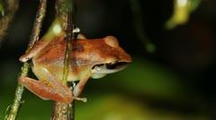 Rain Frog (Pristimantis peruvianus), male calling Stock Footage