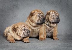 Portrait of sharpei puppies Stock Photos