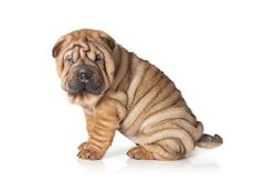portrait of sharpei puppy dog - stock photo