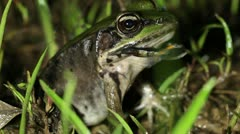 Neotropical green frog (Lithobates palmipes) eating another frog - stock footage