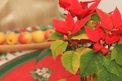 Christmas ''stella'' - stock photo