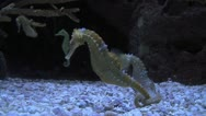 Sea Horses Mating Stock Footage