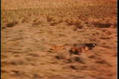 Small group of dogs running across prairie Stock Footage