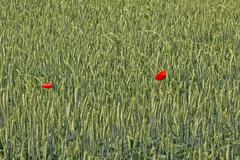 Two poppy flowers in wheat field Stock Photos